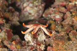 BD-110313-Puerto-Galera-3209-Fromia-monilis-(Perrier.-1869)-[Peppermint-sea-star].jpg